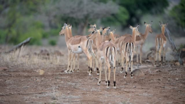 impala herd in the wilderness of africa - herbivorous stock videos & royalty-free footage