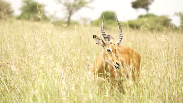 impala in tall grass - grazing stock videos & royalty-free footage