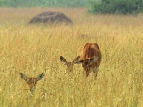 vídeos y material grabado en eventos de stock de impala in tall grass - artbeats