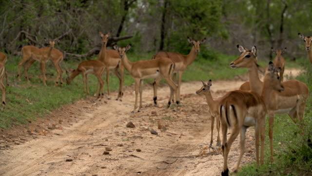 impala lamb walks on dirt track amidst impala herd and green bush, kruger national park, south africa - provinz mpumalanga stock-videos und b-roll-filmmaterial