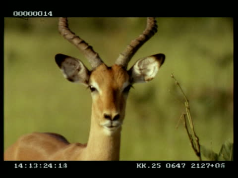 CU Impala (Aepyceros melampus) looking to camera, turns to eat plant, another Impala in background