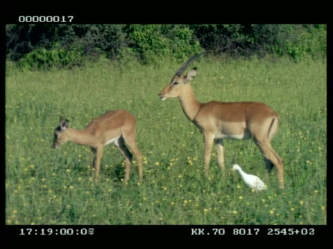 ms impala (aepyceros melampus) male and baby grazing, with cattle egrets moving through grass - grazing stock videos & royalty-free footage