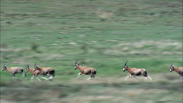 impala only - aerial view - orange free state,  south africa - herd stock videos and b-roll footage
