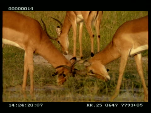 MS 2 Impala (Aepyceros melampus) stags fighting, lock horns