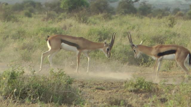 impala - antilope stock-videos und b-roll-filmmaterial