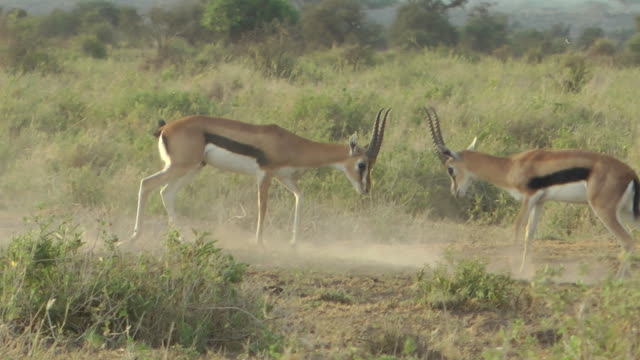 impala - antelope stock videos & royalty-free footage