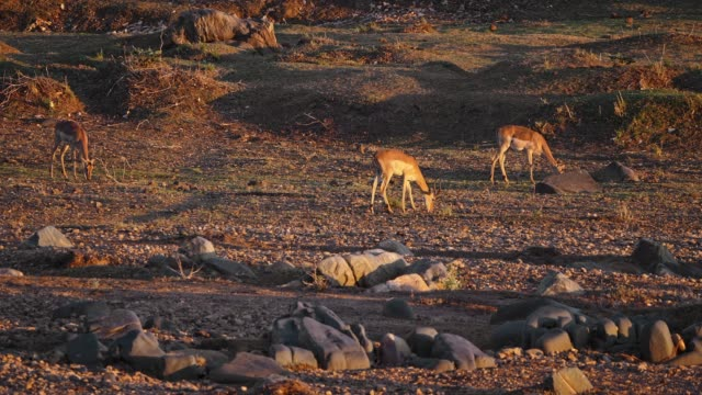 impalas alongside waterfront - wildlife reserve stock videos & royalty-free footage