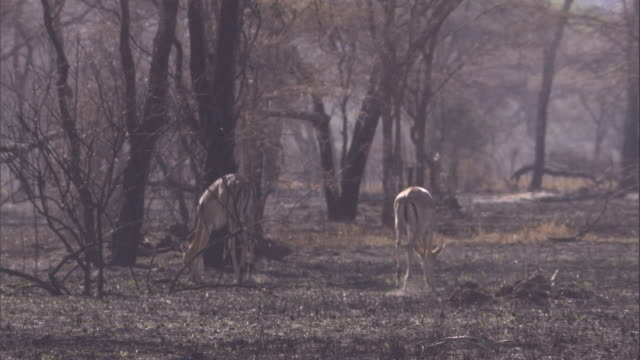 impalas eat the new shoots that poke through the burnt savanna in the serengeti. available in hd. - new stock videos & royalty-free footage