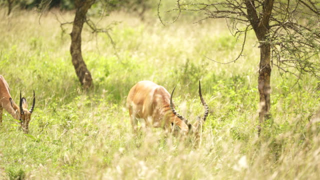 impalas grazing in tall grass - grazing stock videos & royalty-free footage