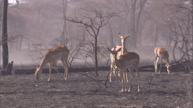 Impalas nibble on the new shoots that poke through the burnt savanna in the Serengeti. Available in HD.