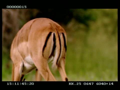 cu impalas (aepyceros melampus) tail flicking as it grazes away from camera - kringel stock-videos und b-roll-filmmaterial