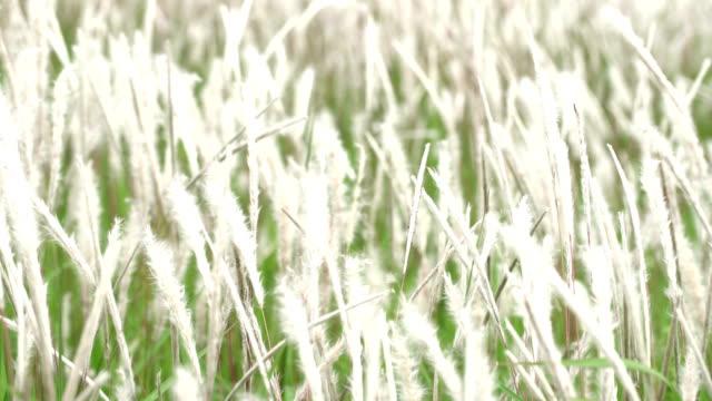vídeos y material grabado en eventos de stock de campo de hierba de imperata cylindrica - península
