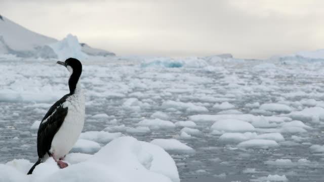 imperial shag on ice floe - antarctic peninsula stock videos & royalty-free footage