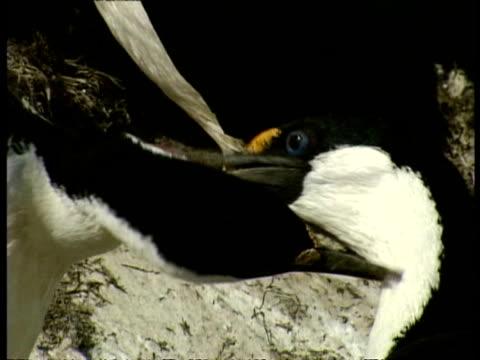 vidéos et rushes de cu imperial shag, phalacrocorax atriceps, cleaning each other, antarctica - se lisser les plumes