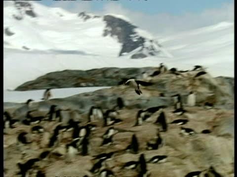 vidéos et rushes de wa imperial shag, phalacrocorax atriceps, landing on cliff amongst penguin colony, antarctica - colony
