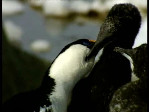 vidéos et rushes de cu imperial shag, phalacrocorax atriceps, parent and chick cleaning each other, antarctica - se lisser les plumes