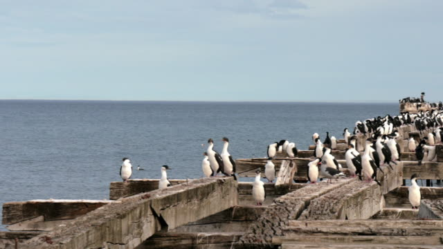 Imperial shags colony near Punta Arenas.
