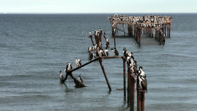 Imperial shags in abandoned pier in Punta Arenas