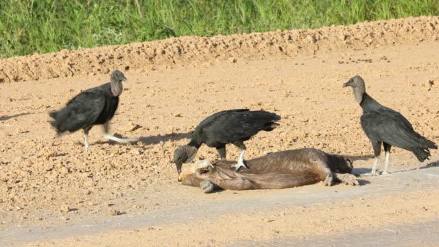 vídeos y material grabado en eventos de stock de impressions of bolivia - cuatro animales