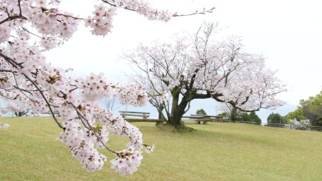 impressive scenes in kagoshima - cherry tree stock videos & royalty-free footage