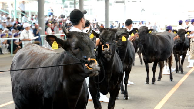 in a bovine version of a dog championship show wagyu japanese cattle breeders in miyazaki prefecture brought their best animals to kobayashi located... - five animals stock videos and b-roll footage
