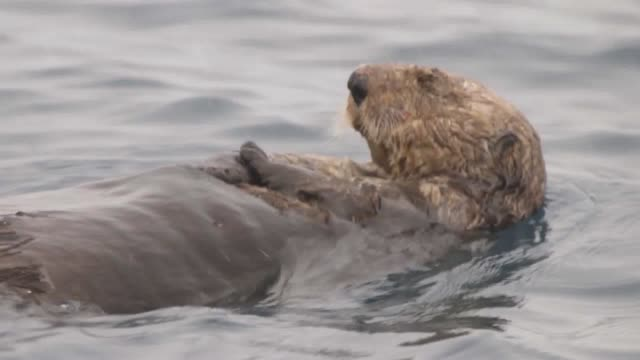 in a uk first two alaskan sea otters will become residents in birmingham the national sea life centre will give the rescued pups their forever home... - otter stock videos & royalty-free footage