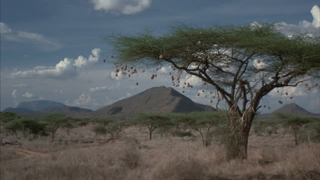in africa a cargo laden range-rover drives past a flat-topped acacia tree framing a mountain in the background. - acacia tree stock videos & royalty-free footage