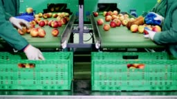 in an apple processing factory, workers in gloves sort apples. Ripe apples sorting by size and color, then packing. industrial production facilities in food industry. close up