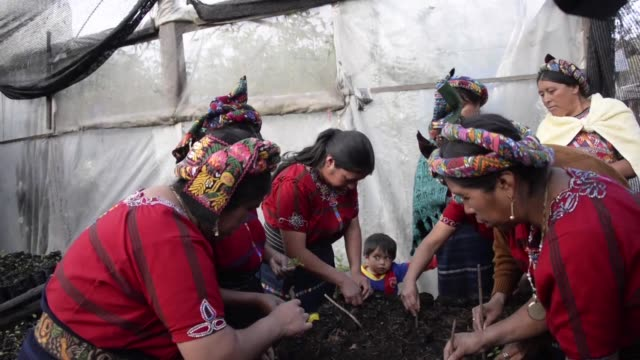 vídeos y material grabado en eventos de stock de in an attempt to preserve their environment indigenous women of a western guatemalan town venture into the woods to collect pine seeds and native... - américa central