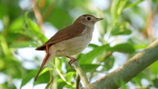 in berlin where between 1200 and 1700 nightingale pairs have been recorded the natural history museum is launching a project that allows city... - nightingale stock videos & royalty-free footage