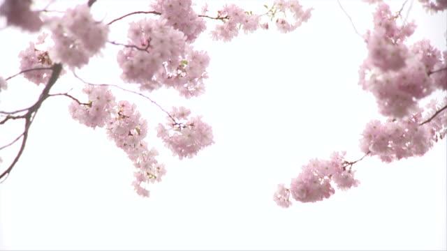 MS SLO MO In bloom Cherry blowing in wind / Berlin, Germany