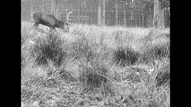in germany before wilhelm ii's exile, herd of deer running through countryside / wilhelm with rifle propped in fork of tree firing, man standing next... - prinzessin stock-videos und b-roll-filmmaterial