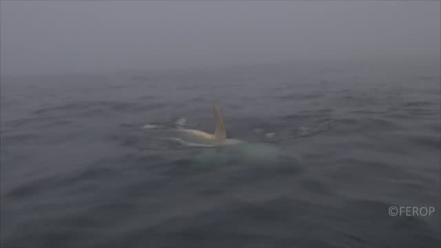 in late august and early september 2014, the far east russia orca project was surveying the southeastern coast of kamchatka and northern kuril... - team photo stock videos & royalty-free footage