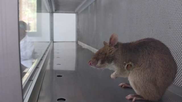 In Mozambique researchers are training rats to sniff out tuberculosis a cutting edge technique designed to improve diagnosis and save lives