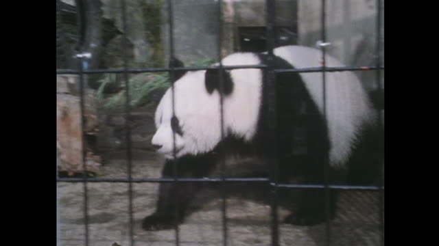 in october the giant panda exhibited first time in japan - パンダ点の映像素材/bロール