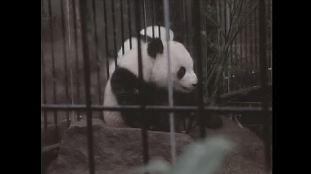 vidéos et rushes de in october the giant panda, given by beijing for commemoration of the restoring relations between the nations, plays in the cage at ueno zoo. - patriotism