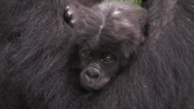 in the forests of kahuzi-biega national park in the democratic republic of congo bonane and other endangered eastern lowland gorillas are at the... - democratic republic of the congo stock videos & royalty-free footage