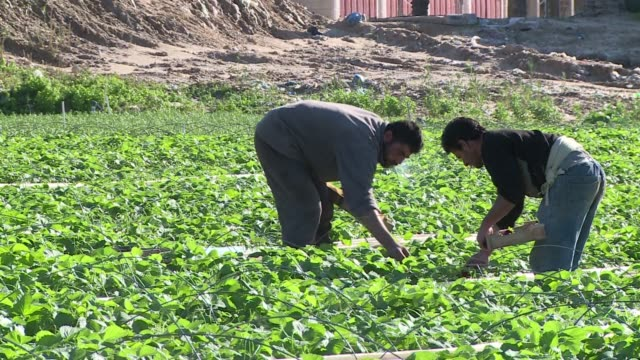 stockvideo's en b-roll-footage met in the gaza strip palestinian farmers lament the loss of crops due to a brutal winter storm that flooded fields gaza struggles to recover after... - israëlisch palestijns conflict