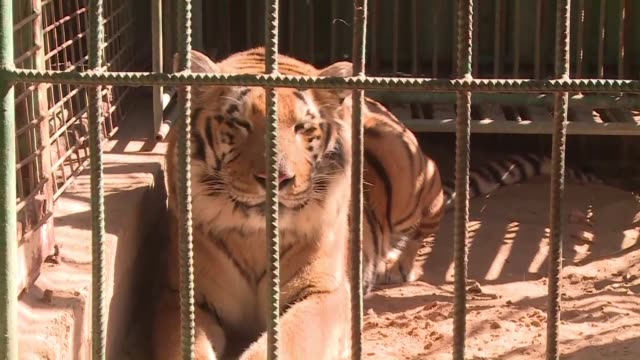 in the gaza strip where residents face a daily struggle to survive animals at the khan yunis zoo are dying every week and the tiger hasn't eaten for... - eaten stock videos & royalty-free footage