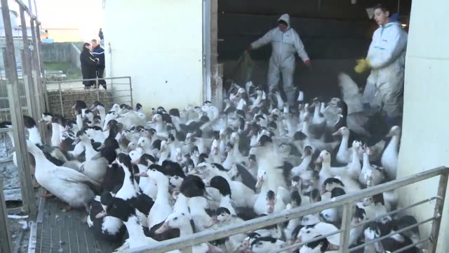 in the gers the area in france which has been the most affected by avian flu the pujos family is compelled to send its 32.000 to the slaughterhouse - virus dell'influenza aviaria video stock e b–roll
