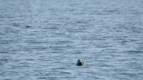 in the gulf of saint lawrence, you can see grey seals from the beach almost every day. but what you don't usually see is a dolphin in the background... - grey seal stock videos & royalty-free footage