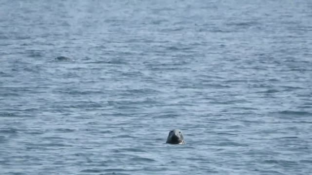 in the gulf of saint lawrence you can see grey seals from the beach almost every day but what you don't usually see is a dolphin in the background... - north atlantic ocean stock videos & royalty-free footage
