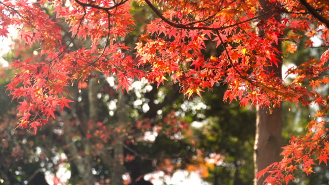 in the morning with red maple plants - autumn leaf color stock videos & royalty-free footage