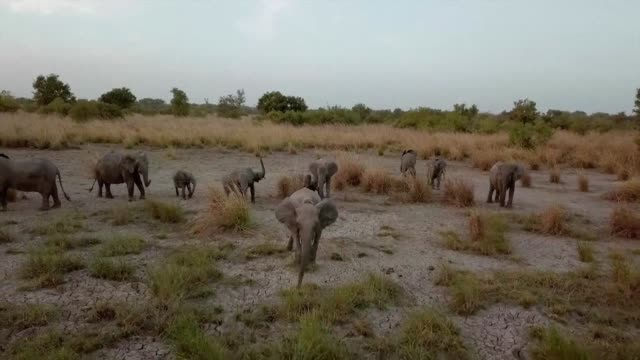 in the north of benin elephants lions and antelopes roam in peace across the savannah of the pendjari national park - hooved animal stock videos and b-roll footage