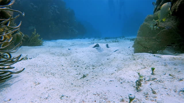 in the sand camouflaged stingray in caribbean sea - belize barrier reef / ambergris caye - seabed stock videos & royalty-free footage