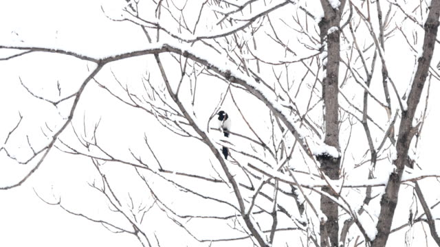 in the snowy woods, magpies are on the branches - twig stock videos & royalty-free footage