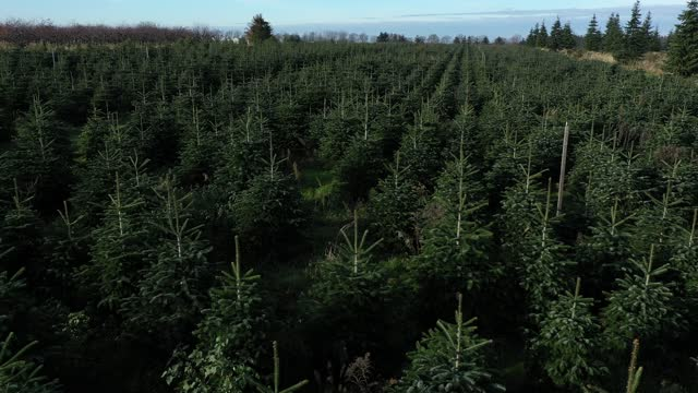 in this aerial view from a drone a field of christmas trees stretches out at the werderaner tannenhof nursery, where people can come and cut down... - cut video transition stock videos & royalty-free footage