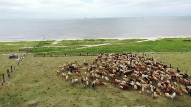 in this aerial view from a drone, cowboys round up cattle on a pasture next to the gulf of mexico to take them to safe ground before the possible... - 放牧地点の映像素材/bロール