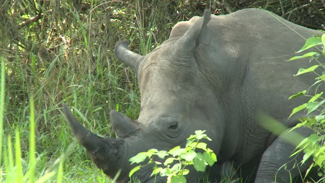in uganda there's renewed hope of reintroducing rhinos back into the wild following the increase in the numbers of the nearthreatened southern white... - endangered species stock videos & royalty-free footage