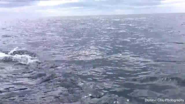 in what dominic chiu called the encounter of his life, the hong kong native filmed a sea of dolphins swimming right beside the boat in which he was... - dolphin stock videos & royalty-free footage